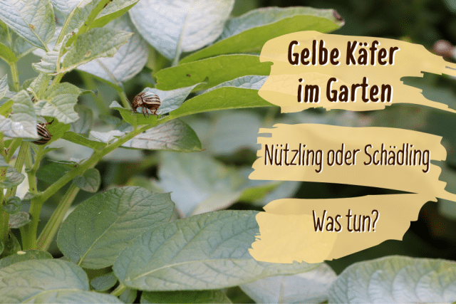 Gelbe Käfer im Garten
