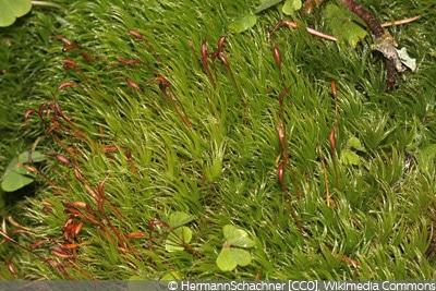 Dicranum scoparium Moosarten