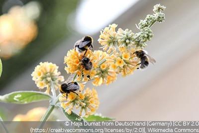 Sommerflieder Sungold Herbstpflanze