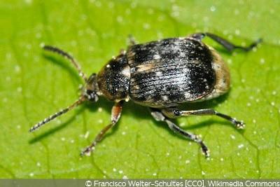 Käferarten Ackerbohnenkäfer