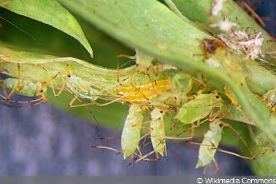 Gallmückenlarve