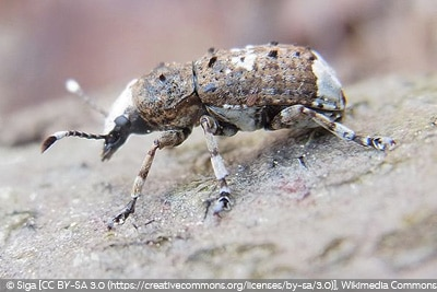 Gr0ßer Breitrüssler Käferarten