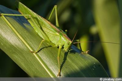 Grünes Heupferd Insektenarten