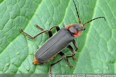 Weichkäfer Käferarten