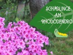 Rhododendron-Blätter angefressen
