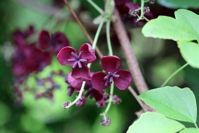Akebie Rankpflanze