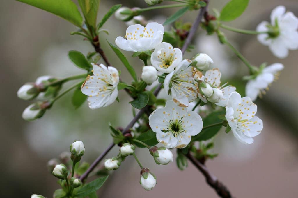 Apfelbaum Blütezeit