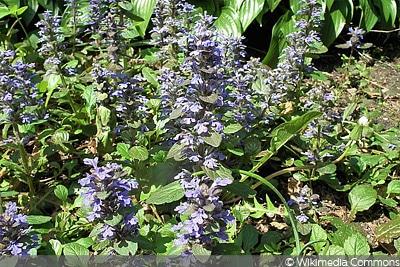 Dunkler Günsel winterharte Kübelpflanze