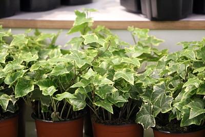 Efeu pflegeleichte Rankpflanze
