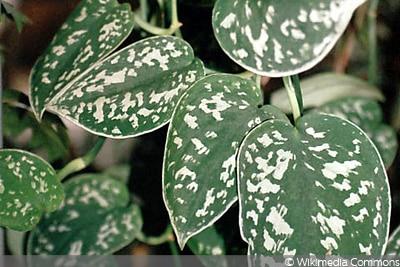 Gefleckte Efeutute pflegeleichte Rankpflanze
