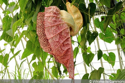 Pfeifenblume Rankpflanze