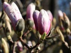 Magnolie düngen