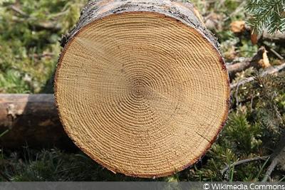 Tanne Holz Unterschied Fichte