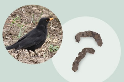 Amselkot Vogelkot