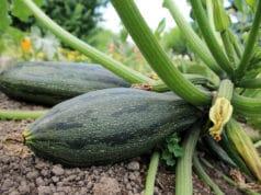 Zucchini roh essbar