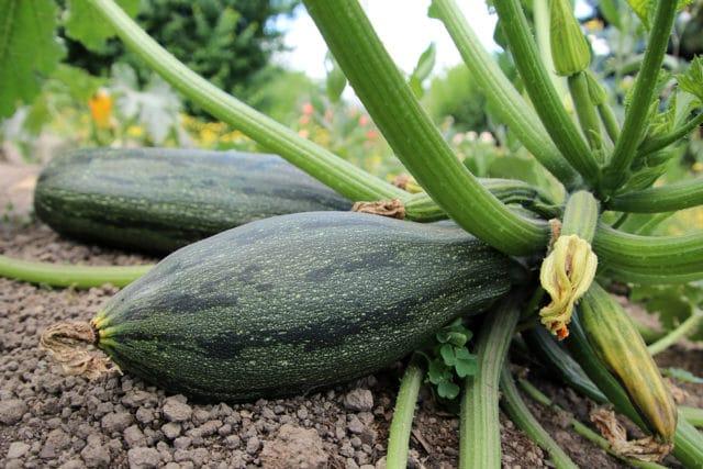 Zucchini roh essbar, Nachbar