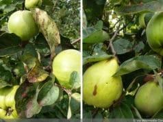 Apfelquitte und Birnenquitte