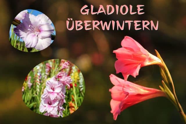 Gladiolen überwintern