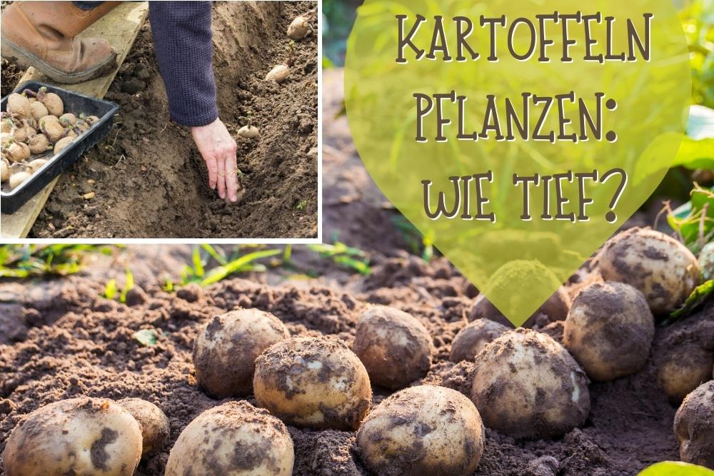 Kartoffel Anpflanzen