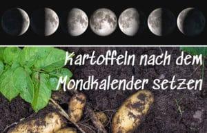 Kartoffeln nach dem Mondkalender setzen