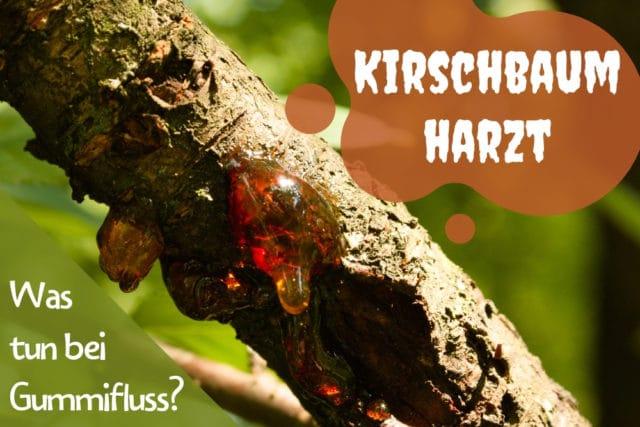 Kirschbaum harzt