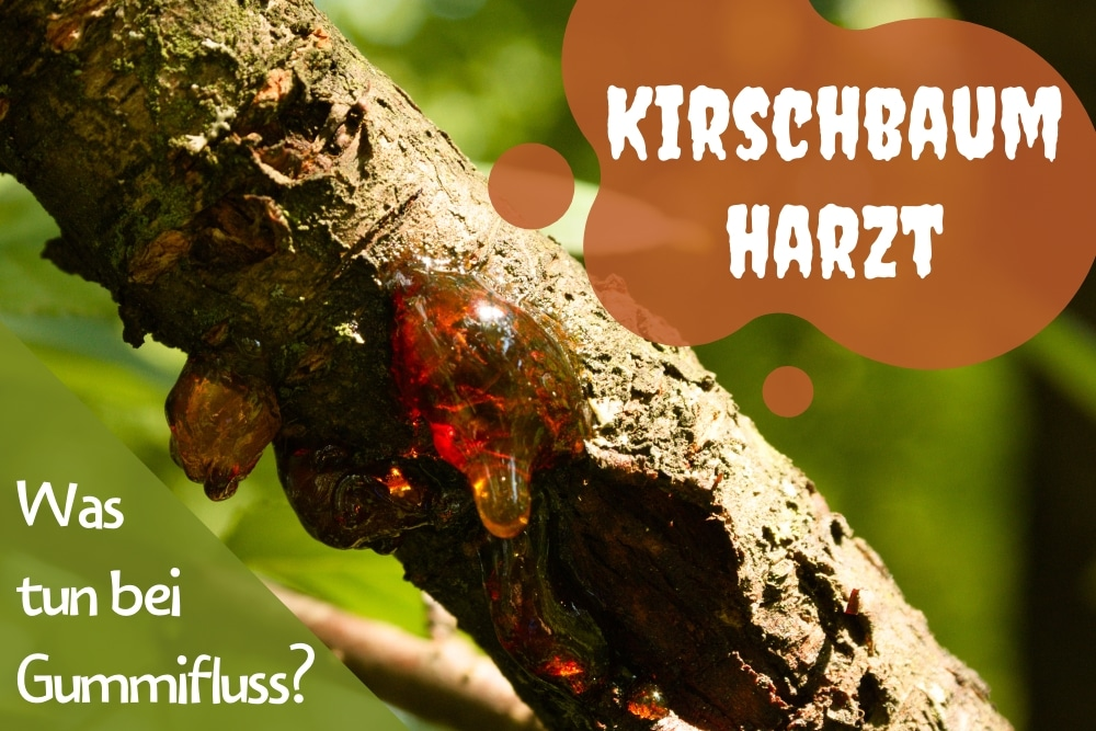 Rinde kirschbaum 10 Kirschbaum