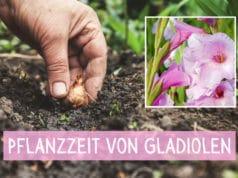 Pflanzzeit Gladiolen