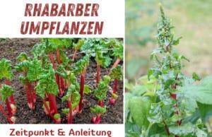 Rhabarber umpflanzen