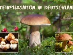Steinpilzsaison in Deutschland