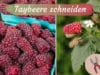 Rubus fruticosus x idaeus