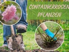 Containerrosen pflanzen