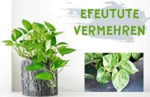 Epipremnum vermehren