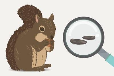 Eichhörnchen Kot