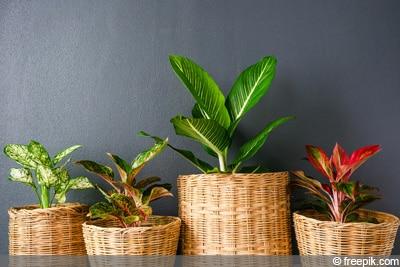 Aglaonema, Kolbenfaden, Zimmerpflanze