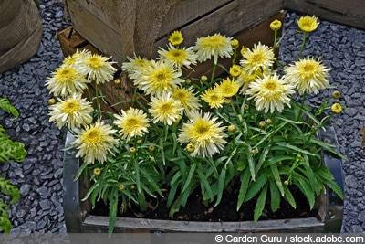 Goldrausch, Leucanthemum maximum