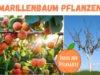 Marillenbaum Pflanzzeit