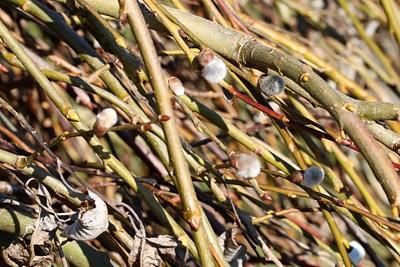 Weide, Salix