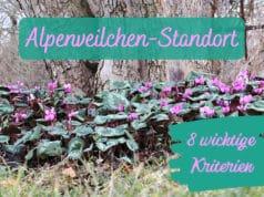 Alpenveilchen-Standort