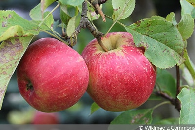 Astramel, Apfelernte