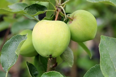 Apfelernte Klarapfel