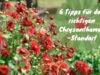 Chrysanthemen-Standort