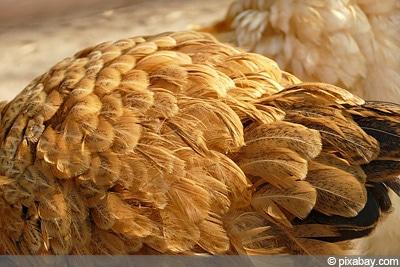 Hühnerfedern, Hühner-Milben