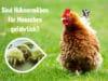 Hühner Milben