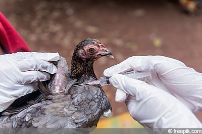 Huhn impfen