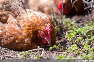 krankes Huhn, Hühner-Milben