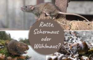 Wühlmaus, Ratte, Schermaus erkennen