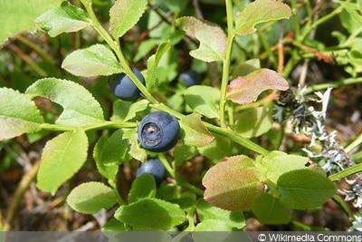 Waldheidelbeere (Vaccinium myrtillus)