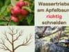 Wassertriebe am Apfelbaum richtig schneiden