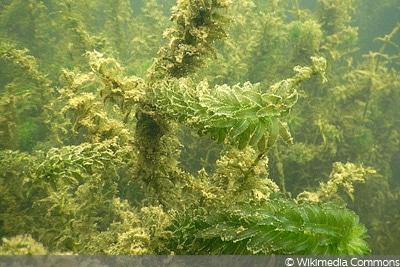 Dichtblättrige Wasserpest (Elodea densa), Teichpflanze