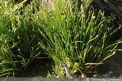 Frauengrashaar/Moorbinse oder Simse (Scirpus cernuus)